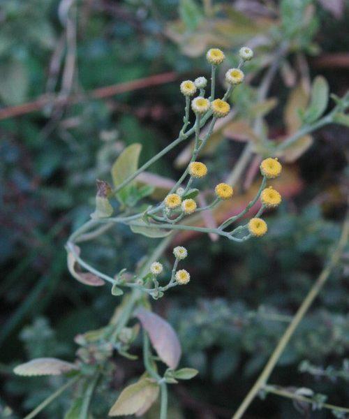 Frauenminze / Marienblatt / Tanacetum balsamita